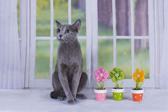 Russian blue cat near the window in a country house Royalty Free Stock Photo