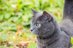 Russian blue cat outdoor Stock Photos