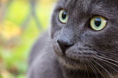 Russian blue cat outdoor. Cute russian blue cat outdoor close up Royalty Free Stock Images