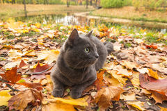 Russian blue cat outdoor Stock Image