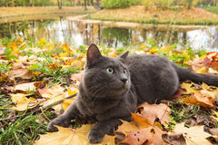 Russian blue cat outdoor Royalty Free Stock Photo