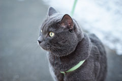 Russian blue cat outdoors in harness Royalty Free Stock Image