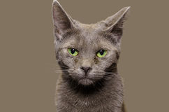 Russian Blue cat portrait with plain gray background Stock Photos