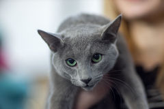 Russian blue cat portrai. T - Pedigree Cat Stock Image
