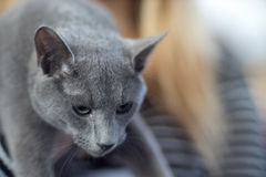 Russian blue cat portrai. T - Pedigree Cat Stock Photo