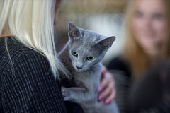 Russian blue cat portrai. T - Pedigree Cat - head on the shoulder of the owner Stock Photography