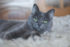 Russian Blue Cat Stock Photo