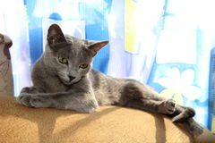 Russian blue cat. Soft portrait of lying cat, watching for something outside the frame Royalty Free Stock Photos