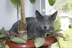 Russian blue cat. Russian Blue is in a pot with flowers and looking at the photographer Stock Photo