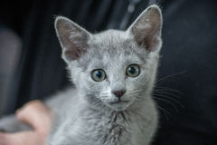 Russian blue cat portrait. Pedigree Cat Stock Photos