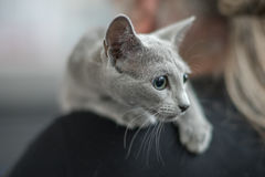 Russian blue cat portrait. Pedigree Cat Stock Photo