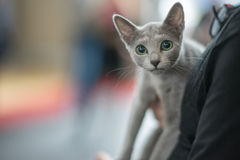 Russian blue cat portrait. Pedigree Cat Royalty Free Stock Images