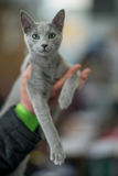 Russian blue cat portrait. Pedigree Cat Stock Photography