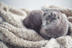 Russian Blue Cat Portrait Royalty Free Stock Photography