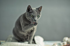 Russian Blue Stock Photography