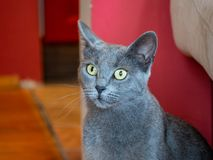 Russian blue cat sitting near a red wall. Russian blue cat sitting inside near red wall Royalty Free Stock Photos