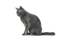 Russian blue cat sitting on isolated white background Royalty Free Stock Images