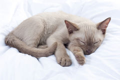 Russian Blue cat sleeping Royalty Free Stock Photos