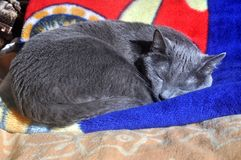 Russian Blue cat sleeping Stock Photos