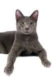 Russian Blue cat smiling Royalty Free Stock Photos