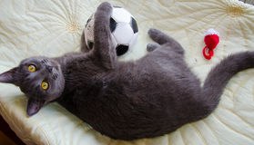 The russian blue cat with soccer ball Royalty Free Stock Photography