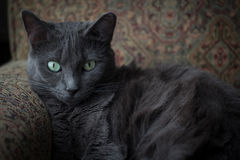 Russian Blue Cat on a Sofa Stock Photo