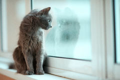 Russian blue cat stare out the window Stock Photos