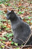 Russian Blue. This Russian Blue cat is stunning Royalty Free Stock Image