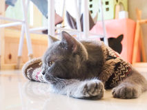 Russian blue cat thinking Royalty Free Stock Photo