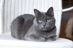 Russian Blue Cat on White Wicker Armchair Stock Photo
