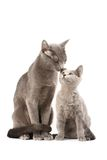 Russian blue cats. Portrait of a russian blue cats family Royalty Free Stock Photos