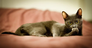 Russian blue cute cat. Portrait Stock Photography