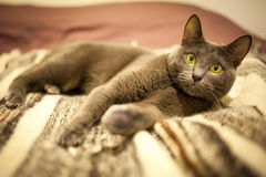 Russian blue cute cat. Portrait Stock Photos