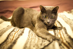 Russian blue cute cat. Portrait Royalty Free Stock Images