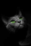 Russian blue cute cat. Portrait Stock Images