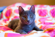 Russian Blue - cute kitten Royalty Free Stock Photos