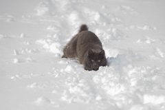 Gray cat stuck in the snow royalty free stock photography