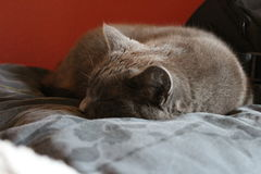 Russian blue, grey cat is laying on a bed Stock Photos
