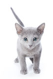 Russian blue kitten Royalty Free Stock Image
