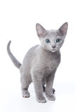 Russian blue kitten Royalty Free Stock Photo