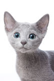 Russian blue kitten. On white background Royalty Free Stock Images