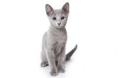 Russian blue kitten. On white background Stock Photos