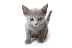 Russian blue kitten. On white background Stock Photo