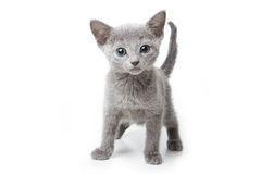 Russian blue kitten. On white background Stock Photography