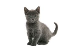 Russian Blue kitten. On white background Royalty Free Stock Photography