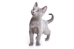 Russian blue kitten Stock Photo