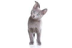 Russian blue kitten Stock Images