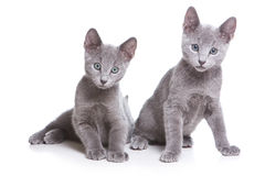Russian blue kitten. On white Royalty Free Stock Photo