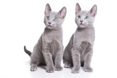 Russian blue kitten Royalty Free Stock Images