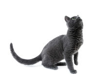 Russian blue kitten. On white background Stock Images